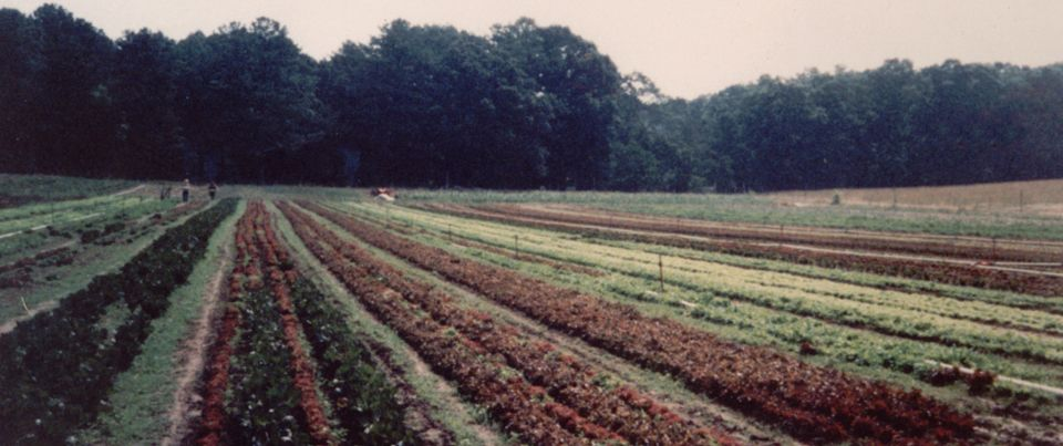 5.Rows_of_lettuce
