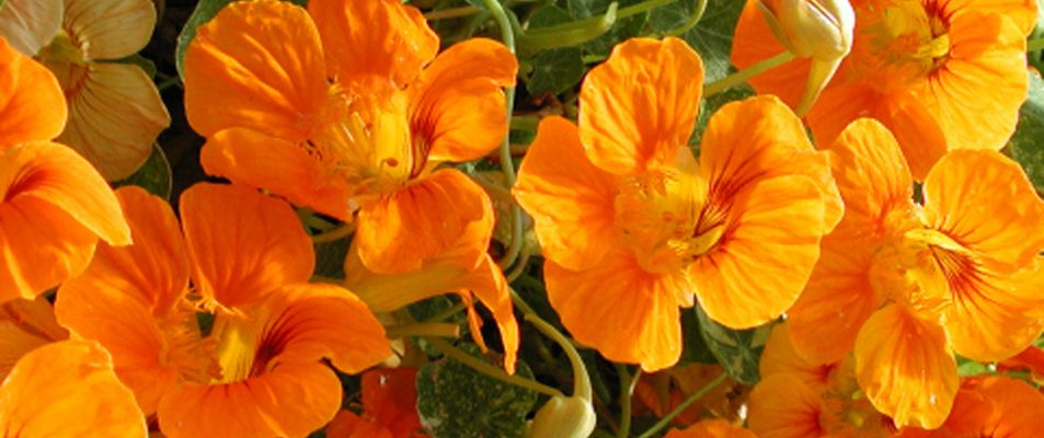 1.Edible_Flowers_Nasturtiums